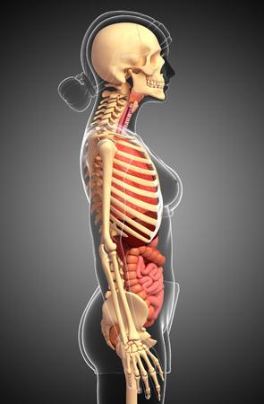 Illustration of female skeleton digestive system illustration