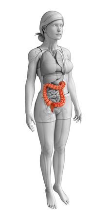 descending colon: Illustration of Female large intestine anatomy