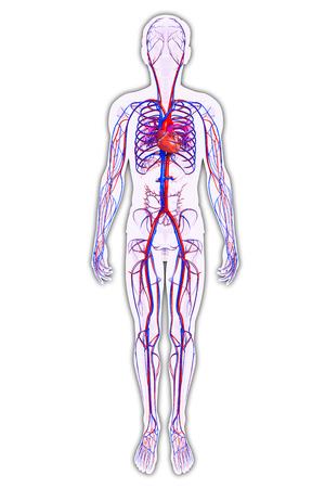 vasos sanguineos: Ilustración del sistema circulatorio Hombre