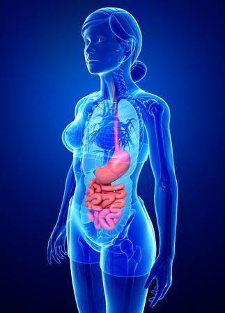Illustratie van vrouwelijke dunne darm anatomie Stockfoto