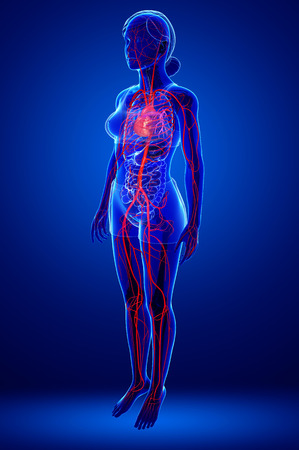 Illustration of Female arteries artwork