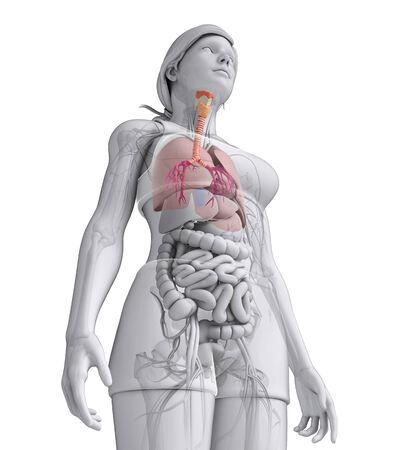 Illustration of Female throat anatomy illustration