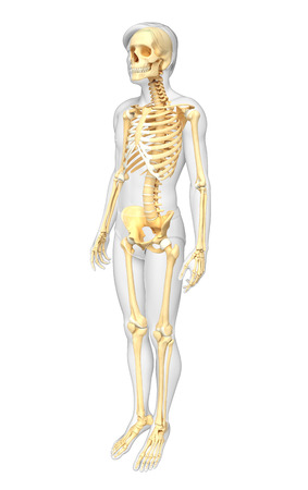 illustration of human skeleton side view stock photo, picture and, Skeleton