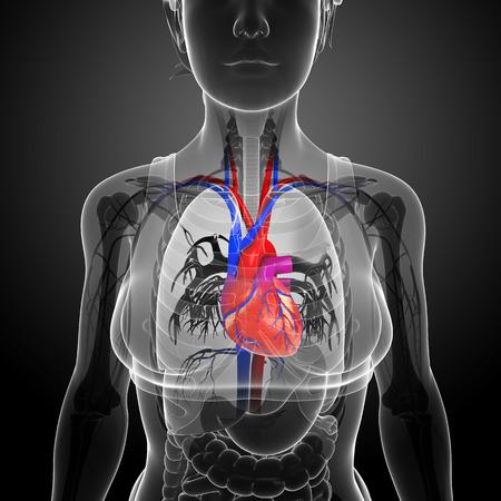 human skeleton: Ilustraci�n de la anatom�a del coraz�n femenino Foto de archivo
