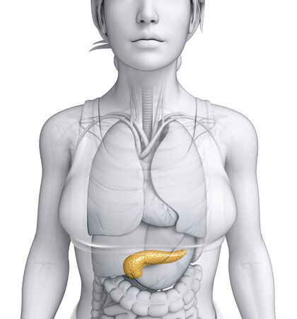 female large intestine: Illustration of female pancreas anatomy