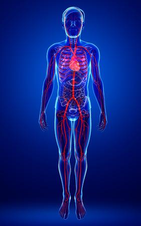 Illustration of Male arteries artwork