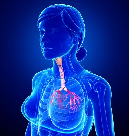 asthmatic: Illustration of Female throat anatomy Stock Photo