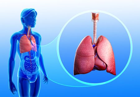 pleura: Illustration of human lungs anatomy