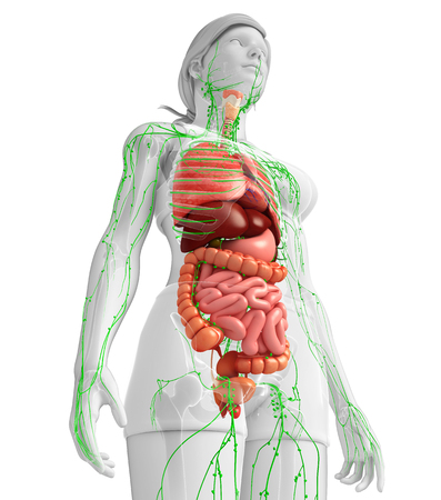 lymph vessels: Illustration of Female body lymphatic and digestive system artwork Stock Photo