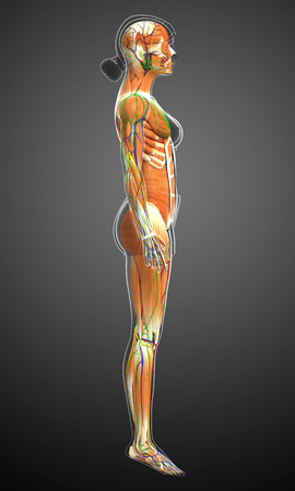 lymph: 3d rendered illustration of female muscles anatomy Stock Photo