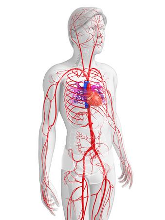 3d teruggegeven illustratie van de mannelijke arteriële systeem