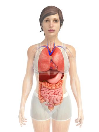 sistema digestivo: 3d rendered illustration of digestive system artwork Foto de archivo