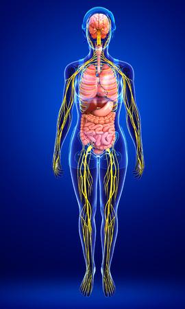 sistema nervioso central: Ilustración del cuerpo de la mujer con las ilustraciones sistema nervioso y digestivo