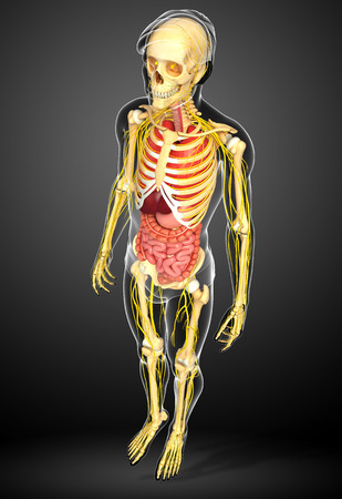 digestive: Illustration of male skeleton with nervous and digestive system artwork Stock Photo