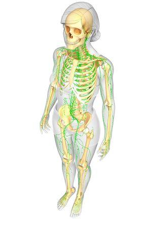 lymphocytes: Illustration of Female skeleton with lymphatic system Stock Photo
