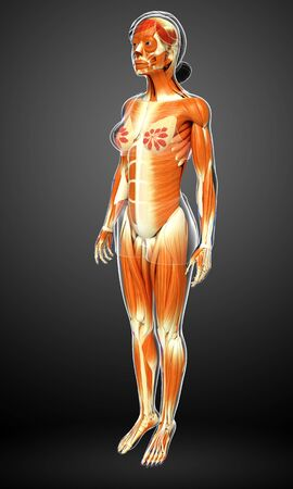muscular system: 3d rendered illustration of female muscular system Stock Photo