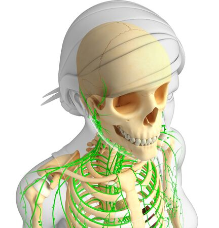 lymph: Illustration of Female skeleton with lymphatic system Stock Photo