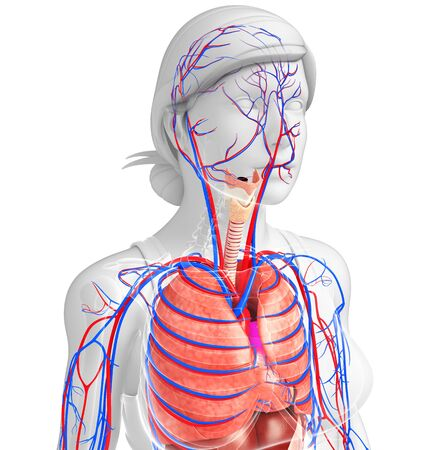 pleural fluid: Illustration of female respiratory and circulatory system
