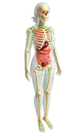 thymus: Illustration of Female body lymphatic, skeletal and digestive system artwork Stock Photo