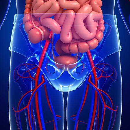 male large intestine: Digestive and circulatory system of male body artwork