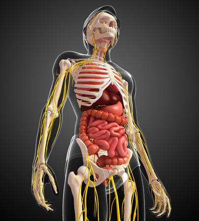 sistema digestivo: Illustration of male skeleton with nervous and digestive system artwork Foto de archivo