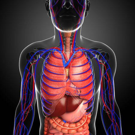 pleura: Illustration of male respiratory and circulatory system