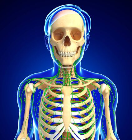 lymphatic system: Illustration of Male skeleton with lymphatic system