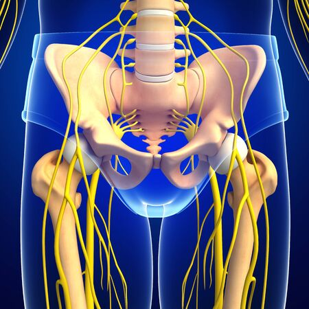 sistema nervioso: Ilustraci�n del sistema nervioso y de la pelvis