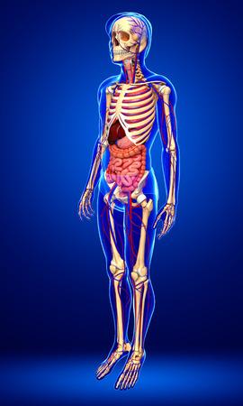 Illustration Des Männlichen Skelett-, Verdauungs- Und ...