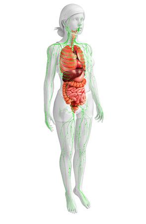 Illustratie van het vrouwelijk lichaam lymfestelsel en spijsvertering kunstwerk