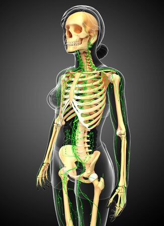 thoracic: Illustration of Female skeleton with lymphatic system Stock Photo