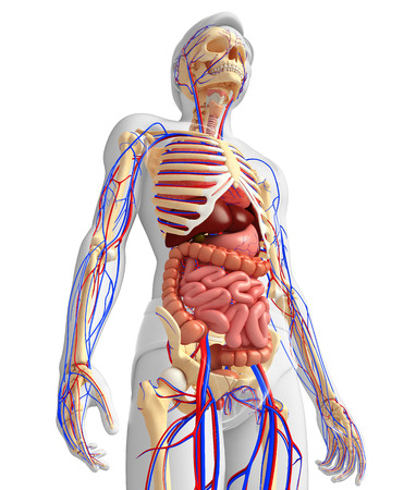 circulatory: Illustration of male skeletal, digestive and circulatory system Stock Photo