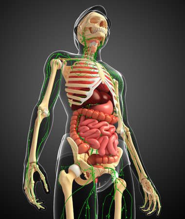 thymus: Illustration of Male body lymphatic, skeletal and digestive system artwork Stock Photo