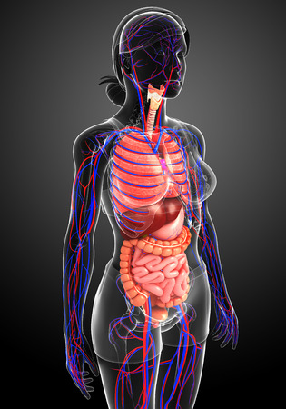 female large intestine: Digestive and circulatory system of female body artwork