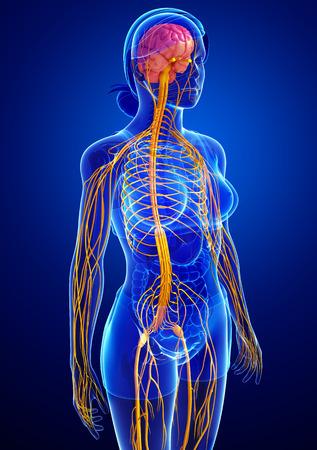 Illustration of Female nervous system artwork