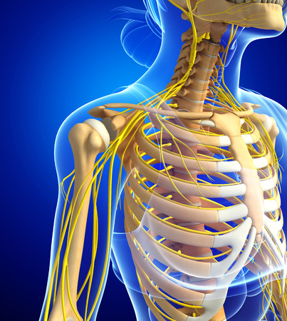 Illustration Of Female Ribcage With Nervous System Stock Photo