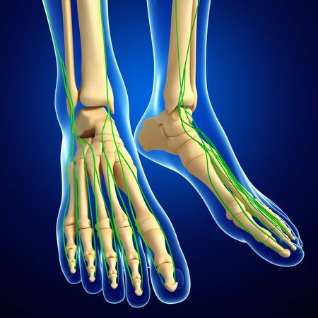 lymphocytes: Illustration of human foot skeleton with lymphatic system