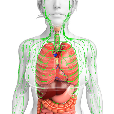 lymph nodes: Illustration of Female body lymphatic and digestive system artwork Stock Photo