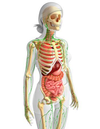 skeletal system: Illustration of Female body lymphatic, skeletal and digestive system artwork Stock Photo
