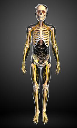 human bones: Ilustración del esqueleto masculino con el sistema nervioso