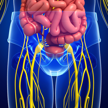 pelvic: Illustration of human pelvic girdle with nervous and digestive system artwork