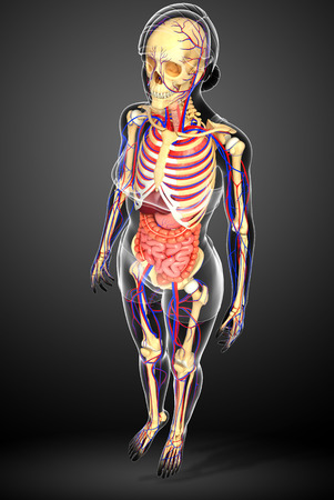 girdle: Illustration of Female skeletal, digestive and circulatory system