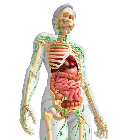 lymph vessels: Illustration of Male body lymphatic, skeletal and digestive system artwork Stock Photo