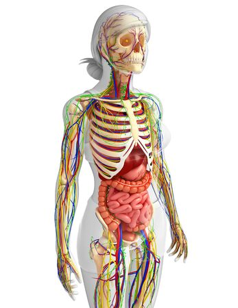 abdominal organs: illustration of Lymphatic, skeletal, nervous and circulatory system of female