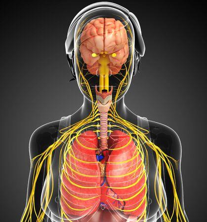 sistema digestivo: Ilustraci�n del cuerpo de la mujer con las ilustraciones sistema nervioso y digestivo