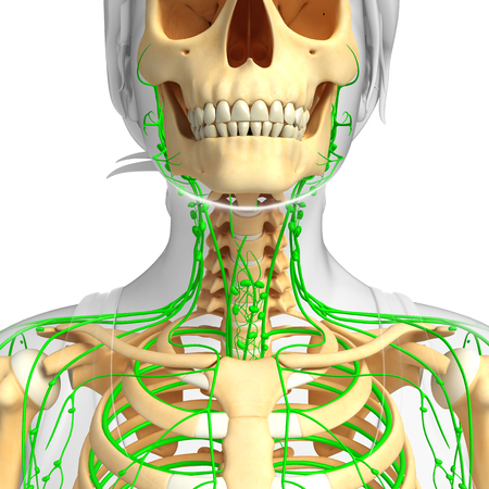 lymphatic: Illustration of Female skeleton with lymphatic system Stock Photo