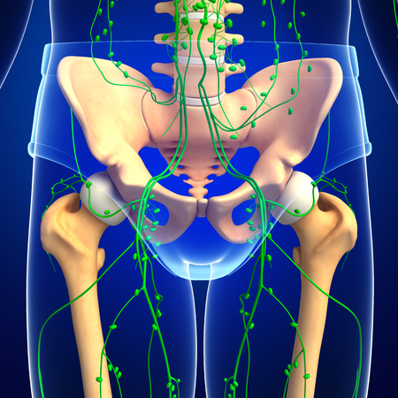 lymph vessels: Illustration of human pelvic girdle skeleton with lymphatic system