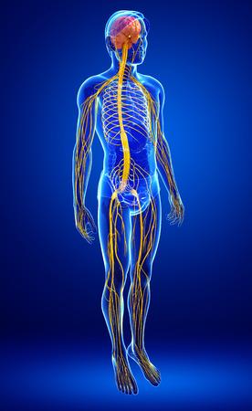 masculino: Ilustración de obra masculina sistema nervioso Foto de archivo
