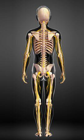 sistema nervioso central: Ilustración del esqueleto masculino con el sistema nervioso