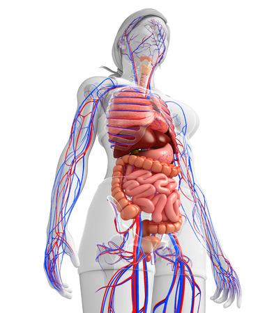 Spijsverteringsstelsel en bloedsomloop van vrouwelijk lichaamskunstwerk